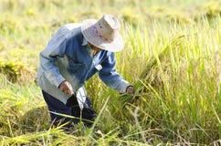 Agricoltori che raccolgono riso nel giacimento del riso Immagine Stock Libera da Diritti