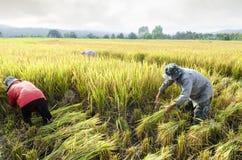Agricoltori che raccolgono riso nel giacimento del riso Fotografia Stock Libera da Diritti