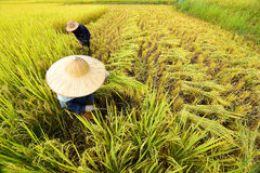 Agricoltori che raccolgono riso nel giacimento del riso Fotografia Stock