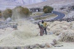 Agricoltori che raccolgono riso nel giacimento del riso in Ladakh Immagini Stock Libere da Diritti