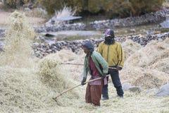 Agricoltori che raccolgono riso nel giacimento del riso in Ladakh Fotografia Stock Libera da Diritti