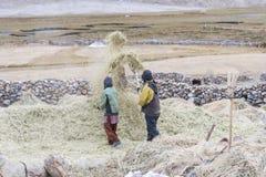 Agricoltori che raccolgono riso nel giacimento del riso in Ladakh Fotografie Stock Libere da Diritti