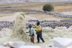 Agricoltori che raccolgono riso nel giacimento del riso in Ladakh Fotografie Stock