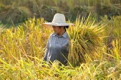Agricoltori che raccolgono riso nel giacimento Tailandia del riso Fotografie Stock Libere da Diritti