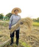 Agricoltori che raccolgono riso nel giacimento Tailandia del riso Immagini Stock Libere da Diritti