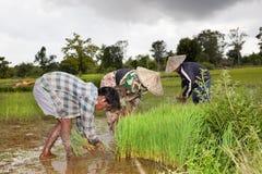 Agricoltori che raccolgono riso nel sud di Don Khon Laos Immagine Stock Libera da Diritti