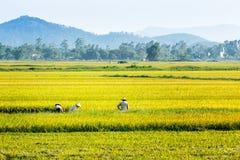 Agricoltori che raccolgono riso sui campi Fotografia Stock Libera da Diritti