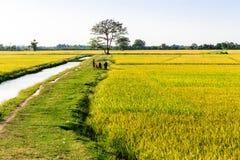 Agricoltori che raccolgono riso sui campi Immagini Stock
