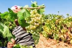 Agricoltori che selezionano gli acini d'uva durante il raccolto ad una vigna Immagine Stock