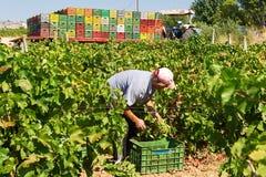 Agricoltori che selezionano gli acini d'uva durante il raccolto ad una vigna Fotografie Stock Libere da Diritti