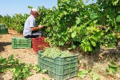 Agricoltori che selezionano gli acini d'uva durante il raccolto ad una vigna Fotografia Stock