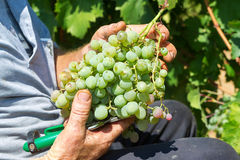 Agricoltori che selezionano gli acini d'uva durante il raccolto ad una vigna Fotografia Stock Libera da Diritti