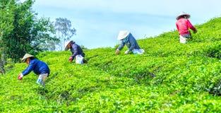 Agricoltori che selezionano tè su un tè di mattina della piantagione Fotografia Stock Libera da Diritti