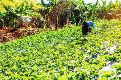 Agricoltori che stavano selezionando le bacche nelle montagne Fotografie Stock