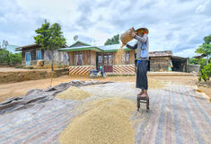 Agricoltori che strappano riso attraverso i venti della natura Immagini Stock Libere da Diritti