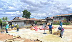 Agricoltori che strappano riso attraverso i venti della natura Immagine Stock Libera da Diritti