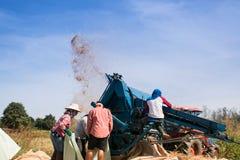 Agricoltori che trebbiano riso Immagine Stock