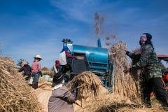 Agricoltori che trebbiano riso Immagini Stock