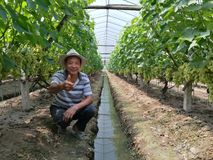 Agricoltori cinesi che coltivano l'uva Fotografie Stock Libere da Diritti