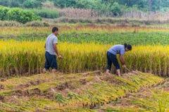 Agricoltori cinesi che raccolgono riso Fotografia Stock