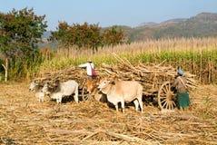 Agricoltori con i carretti del bue per raccogliere la canna da zucchero vicino al lago Inle Fotografia Stock