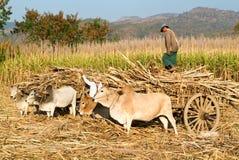 Agricoltori con i carretti del bue per raccogliere la canna da zucchero vicino al lago Inle Immagini Stock Libere da Diritti