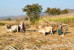 Agricoltori con i carretti del bue per raccogliere la canna da zucchero vicino al lago Inle Fotografia Stock Libera da Diritti