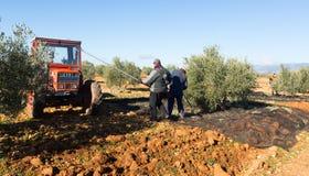 Agricoltori con il trattore che raccoglie le olive Immagine Stock