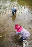 Agricoltori con le piantine di trapianto del riso del cappello di paglia nella risaia Fotografie Stock