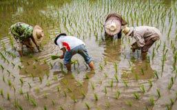 Agricoltori con le piantine di trapianto del riso del cappello di paglia nella risaia Immagini Stock