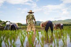 Agricoltori con le piantine di trapianto del riso del cappello di paglia nella risaia Immagine Stock Libera da Diritti