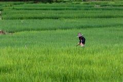 Agricoltori con riso verde, riso, campo Fotografie Stock