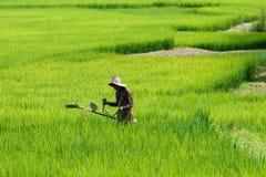 Agricoltori con riso verde, riso, campo Immagini Stock