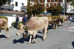 Agricoltori con un gregge delle mucche Immagine Stock