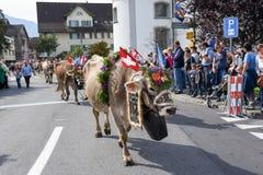 Agricoltori con un gregge delle mucche sulla transumanza annuale Immagine Stock