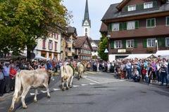 Agricoltori con un gregge delle mucche sulla transumanza annuale Fotografia Stock