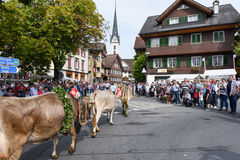 Agricoltori con un gregge delle mucche sulla transumanza annuale Immagini Stock