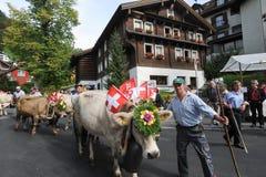 Agricoltori con un gregge delle mucche sulla transumanza annuale sulla st Immagini Stock Libere da Diritti