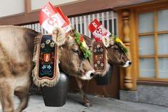 Agricoltori con un gregge delle mucche sulla transumanza annuale sulla st Immagini Stock