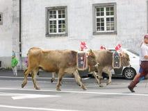 Agricoltori con un gregge delle mucche sulla transumanza annuale sulla st Fotografia Stock Libera da Diritti