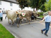 Agricoltori con un gregge delle mucche sulla transumanza annuale sulla st Fotografie Stock Libere da Diritti