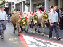 Agricoltori con un gregge delle mucche sulla transumanza annuale sulla st Fotografie Stock