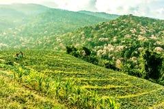 Agricoltori del cavolo su una collina Fotografia Stock Libera da Diritti