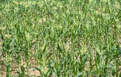 Agricoltori del cereale Fotografie Stock Libere da Diritti