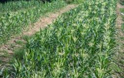 Agricoltori del cereale Immagini Stock Libere da Diritti