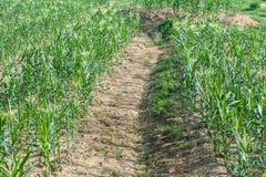 Agricoltori del cereale Immagini Stock