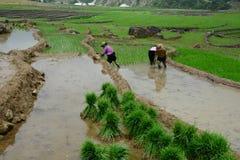 Agricoltori del riso che lavorano ai campi del terrazzo del riso Fotografia Stock Libera da Diritti