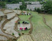 Agricoltori del riso che lavorano ai campi del terrazzo del riso Immagini Stock