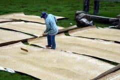 Agricoltori del riso che tendono e che asciugano riso raccolto Immagine Stock