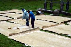 Agricoltori del riso che tendono e che asciugano riso raccolto Fotografia Stock